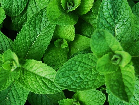 11 Amazing Health Benefits of Scent Leaves