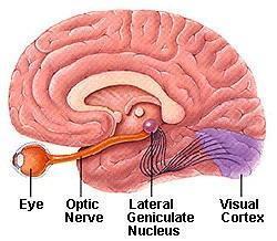 brain-gluacoma