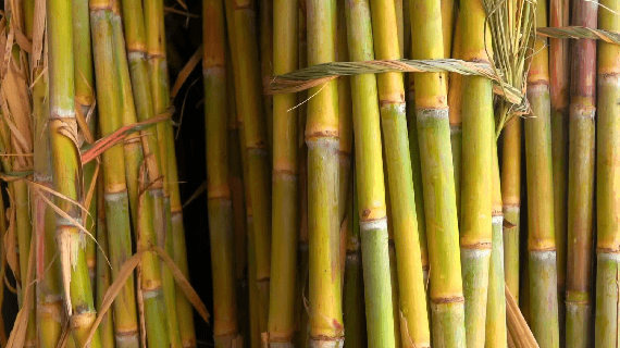 Sugarcane: Much More Than Sweetness